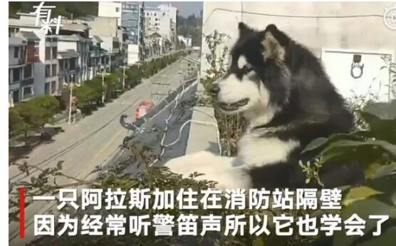 追星成功!模仿消防警报声的狗子登上消防车 真是狗生赢家