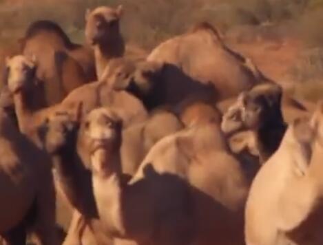 喝水太多?澳杀5000头骆驼是怎么回事?澳大利亚真的动手了