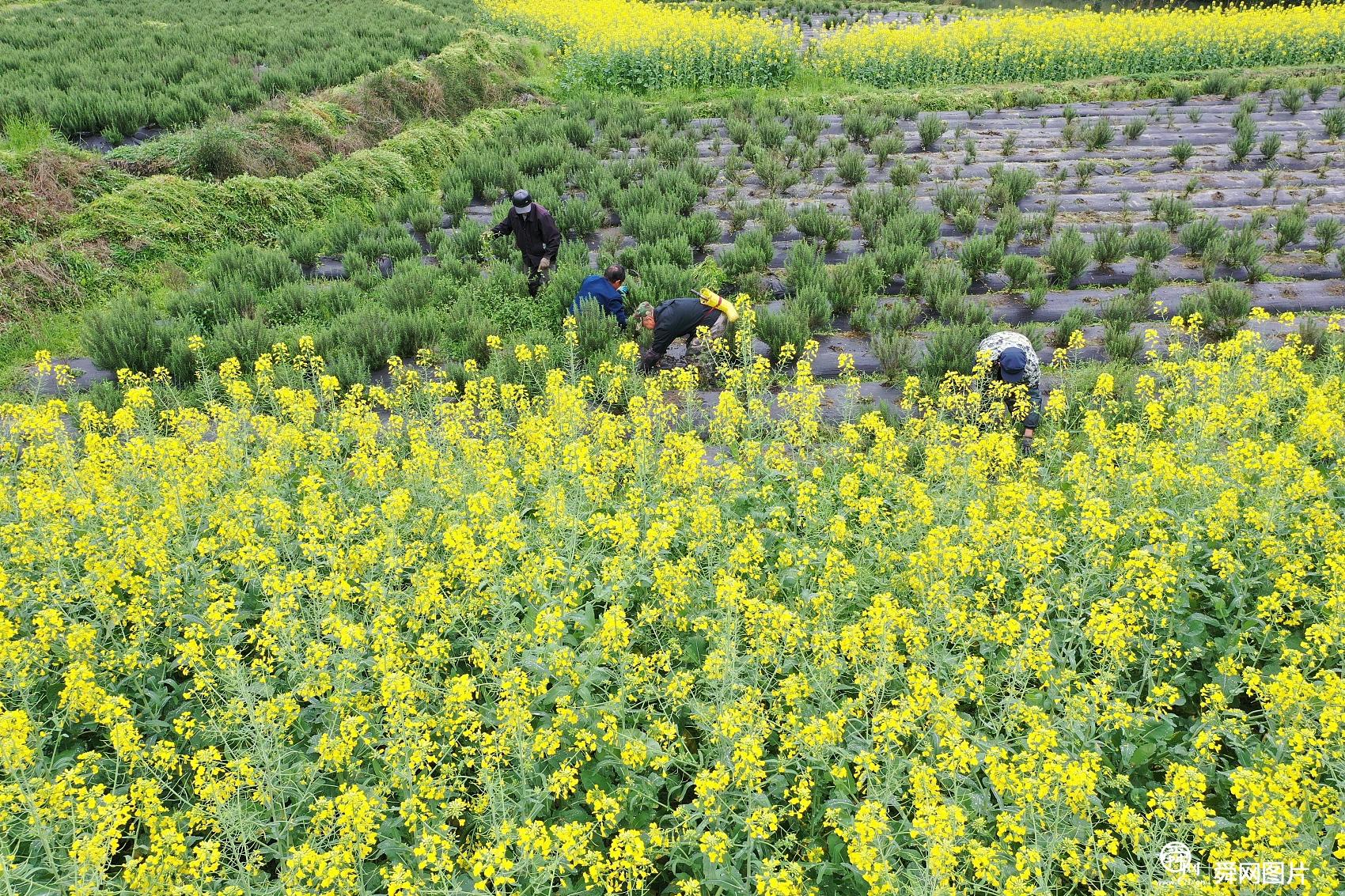 湖南怀化:航拍中草药种植基地 春日农事忙