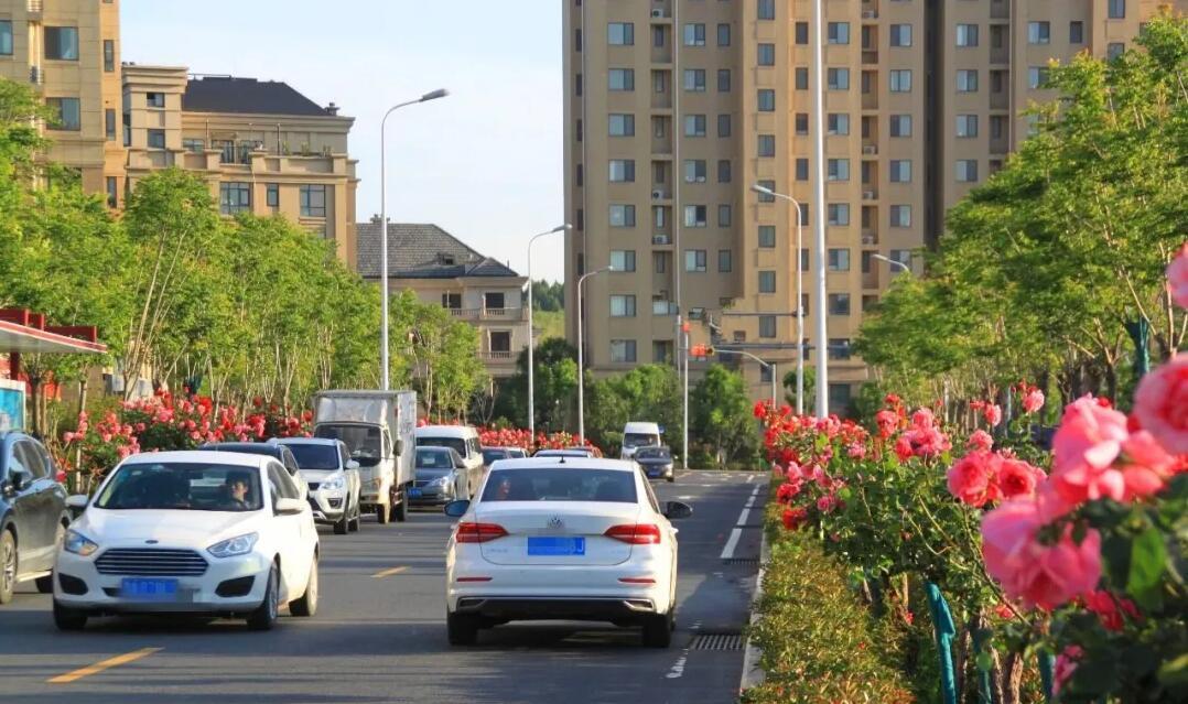 唐冶东麓、围子山下,有一条月季花大道