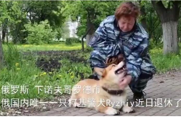 【可可爱爱】俄罗斯唯一一只柯基警犬退休 小小的身体大大的能量