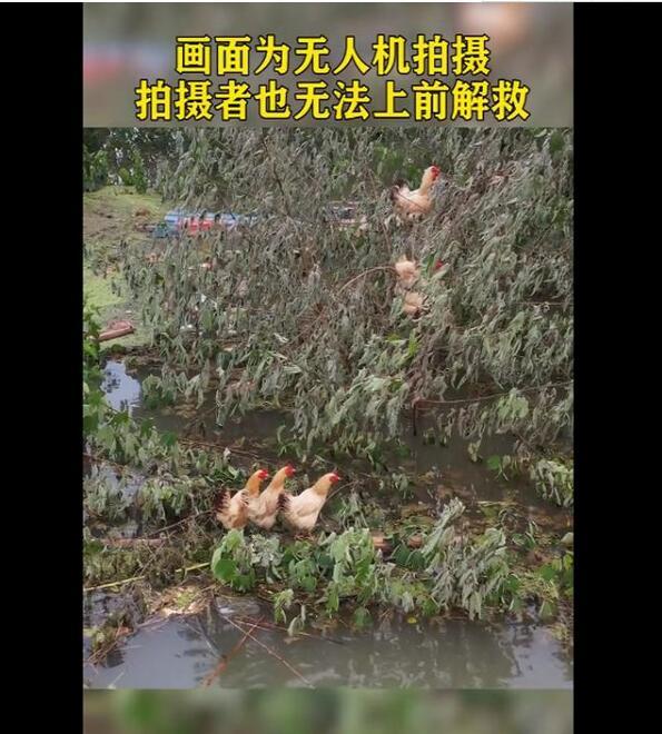 鸡群被洪水围困树枝7天 网友:生命因顽强而美丽