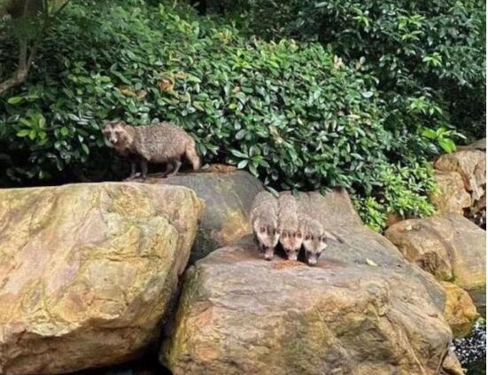 【惊奇】上海一小区现大量野生貉怎么回事?什么是野生貉?现场图