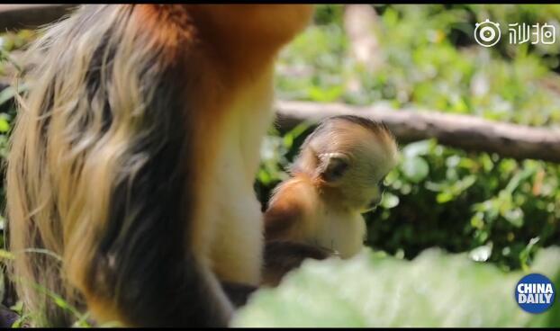 扇贝来了!神农架再添一只雄性金丝猴宝宝 神农架金丝猴增至1470余只
