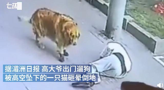当心飞猫!遛狗老人被高空坠猫砸晕 金毛狗接下来的行为让人不禁