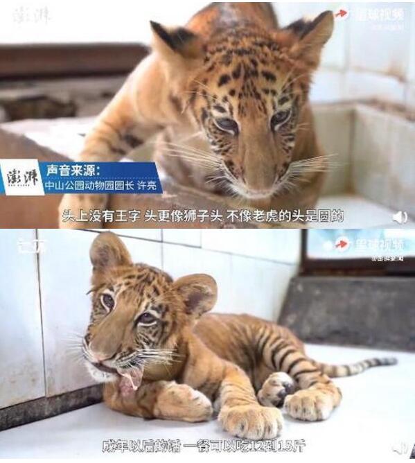 可爱!世界唯一虎狮虎兽宝宝满百天,荆荆每天吃3斤牛肉