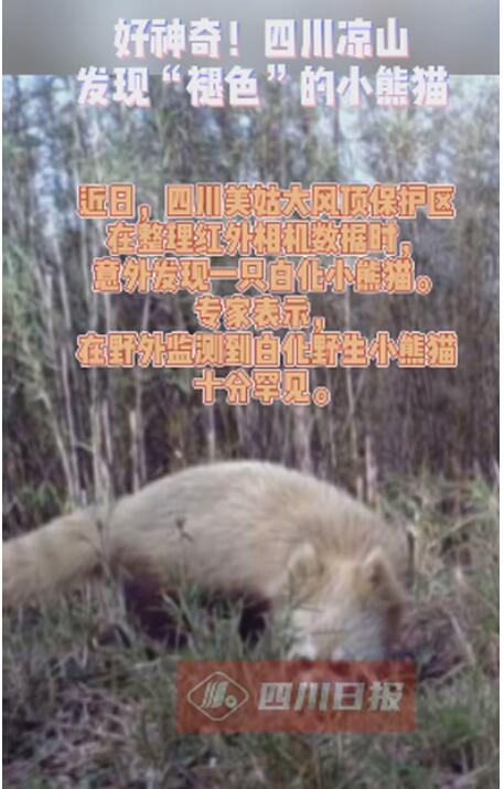 【出门没化妆的你】四川发现褪色小熊猫关掉美颜丑的不忍直视