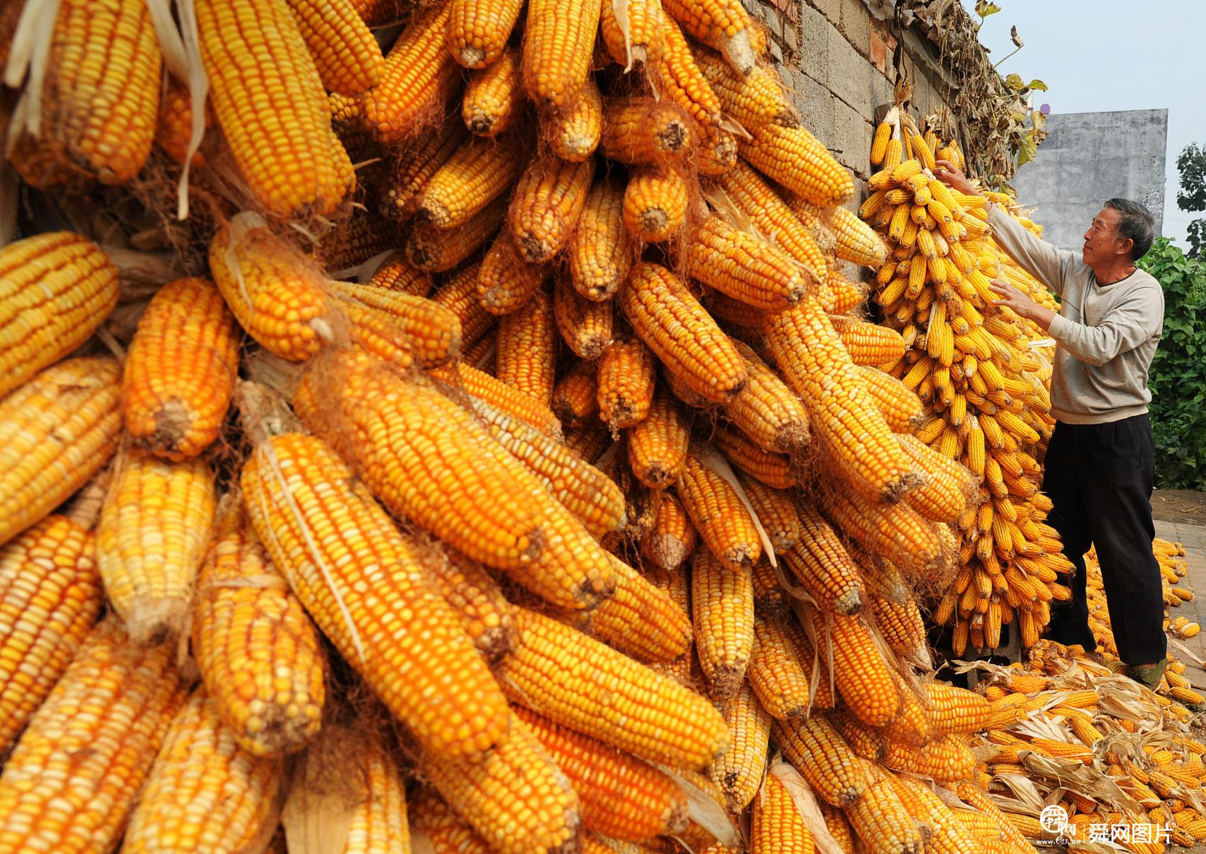 山东枣庄: 金秋时节 农民抢收玉米