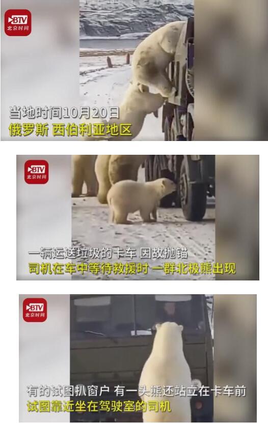 心酸!因冰川消融饥饿北极熊打劫垃圾车