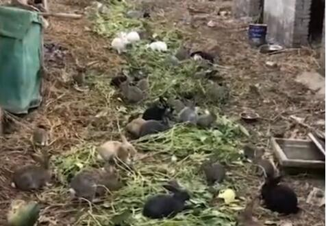 女子买了5只兔子一年后惊呼:5只变200多只,太能生了