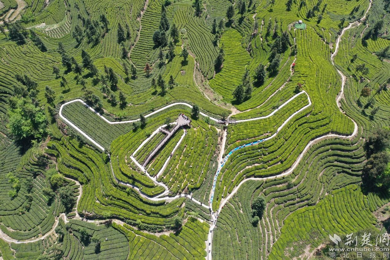 【櫻花又開放——疫后重振看湖北】探訪宜昌鄧村:茶旅融合助推鄉村振興