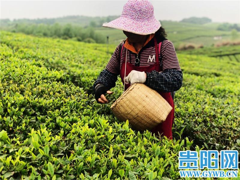 【民族要復興 鄉村必振興】貴州清鎮:萬畝生態茶園助百姓增收致富