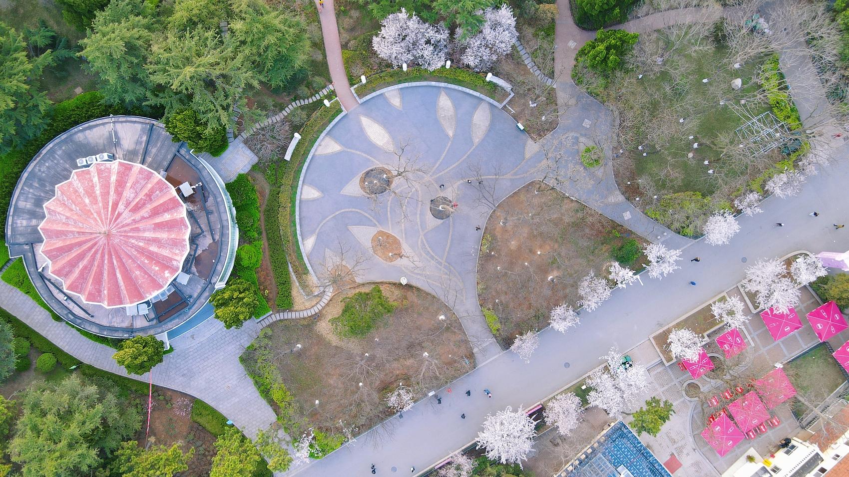航拍山东青岛中山公园 樱花盛开春意如画