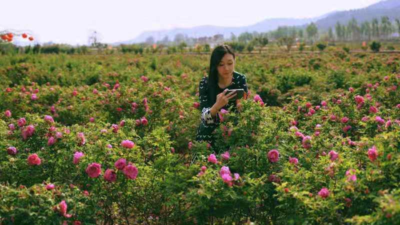 一路繁花似锦邂逅玫瑰浪漫 平阴玫瑰有约浪漫风情游受追捧