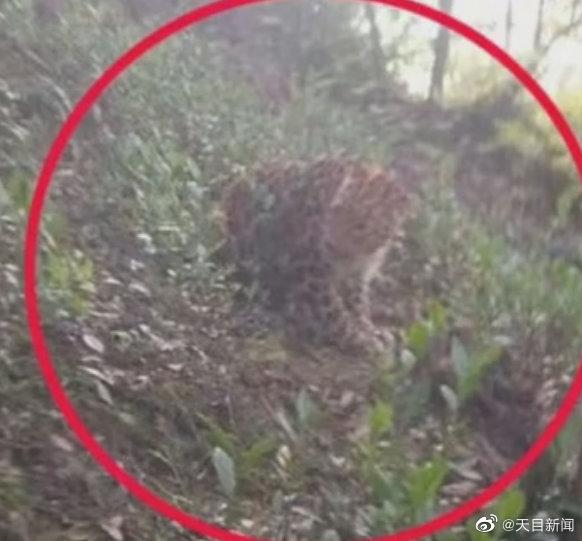 杭州出逃第二只豹子已经找到:被搜救犬咬死了