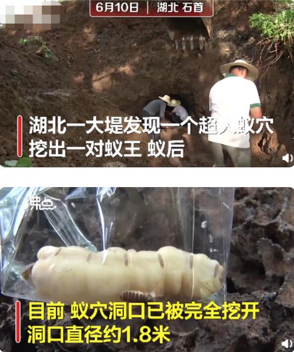 吓人!❗️❗️湖北发现超大蚁穴挖出超大蚁后,具体是啥情况?❓❓
