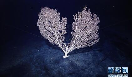 海山发现珊瑚林 2米高珊瑚形态...