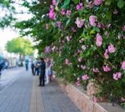 这段蔷薇花墙好美
