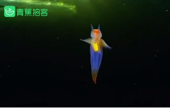 【海底精灵】俄潜水员冰下拍到裸海蝶 通身晶莹剔透发出五彩光芒