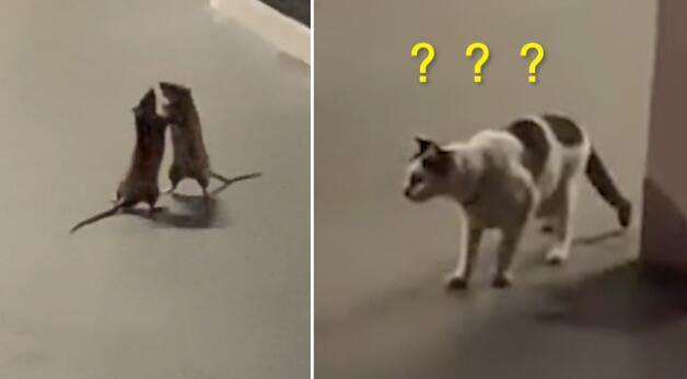 两只老鼠站立互殴一旁猫咪被吓傻是怎么回事?什么情况?