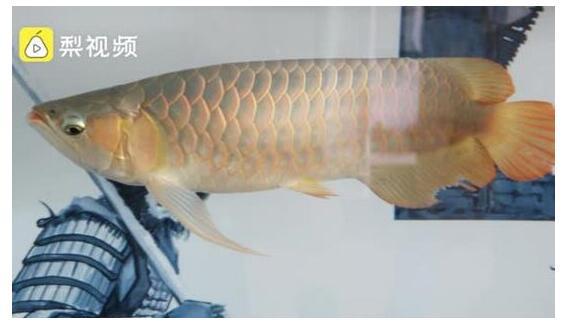 龙鱼眼睛整容千元一次  探索龙鱼美容师行业