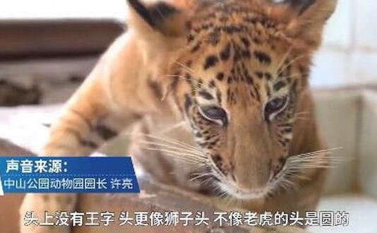 【围观撸猫】世界唯一虎狮虎兽宝宝满百天 有四分之三的老虎血统