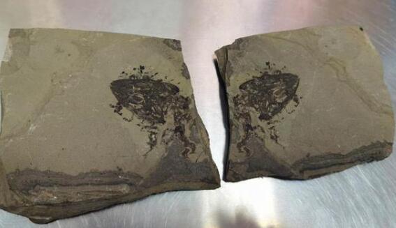 【吃瓜围观】福州海关快件中查获侏罗纪化石 满洲鳄头骨化石被藏匿在快件里